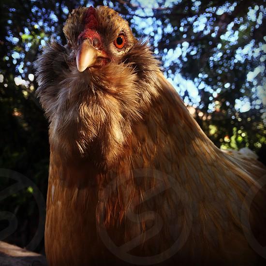 brown hen photo