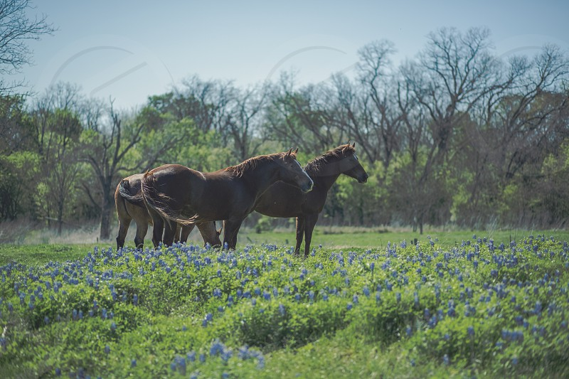 Three beautiful horses in a field of bluebonnets. photo