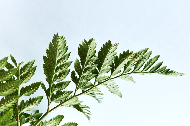 Fern. Closeup green branch on gray background with copy space. Layout foliage. Flat lay photo