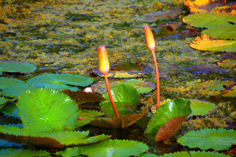 green water lily photo