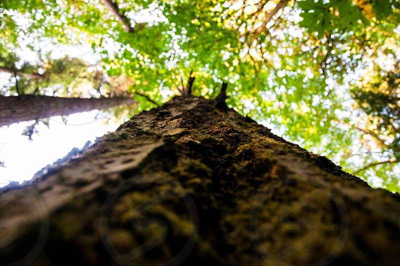 Tree. Looking up. photo