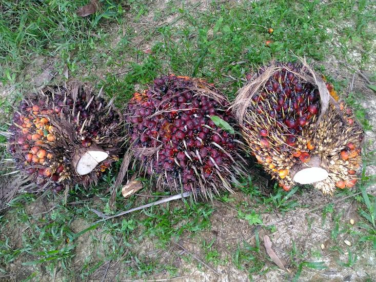 palm oil seeds photo
