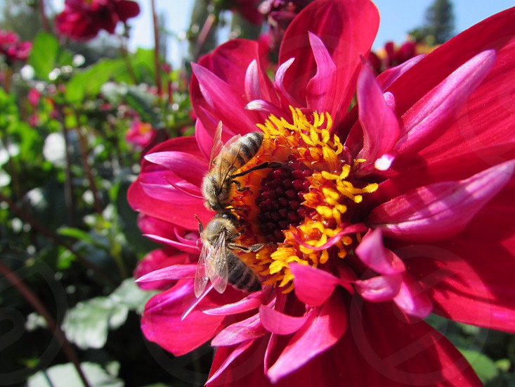 two bees perched on hot pink flower photo