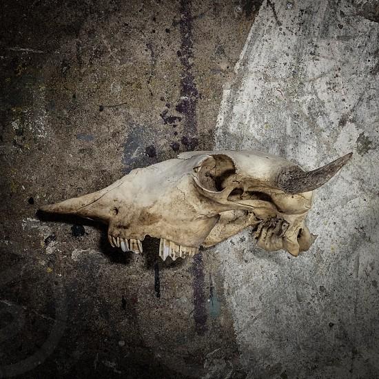 Buffalo Skull (Right Side) photo