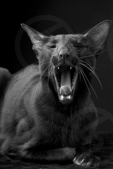 Oriental black cat jawing photo