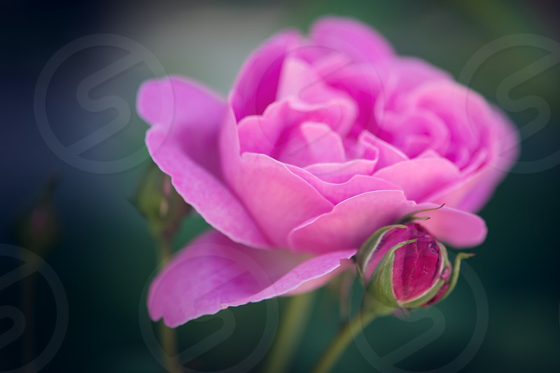 Beautiful pink rose. photo
