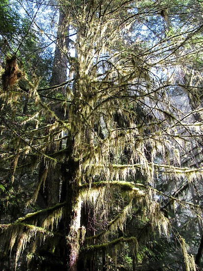 A tall old pine tree covered in moss brilliantly highlighted by bright sun in Olympic National Park USA. photo
