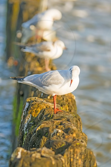 black headed gulls on groins of the Baltic sea in Poland photo