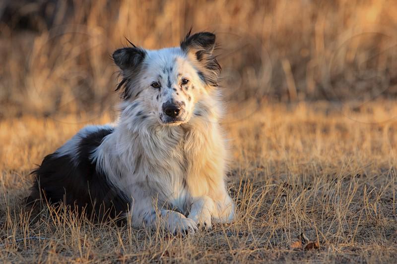 Border Collie dog laying in field working dog herding dog  photo