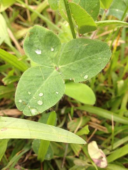 Clover after summer rain  photo