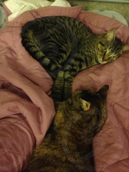 gray tabby cat near tortoise shell cat photo