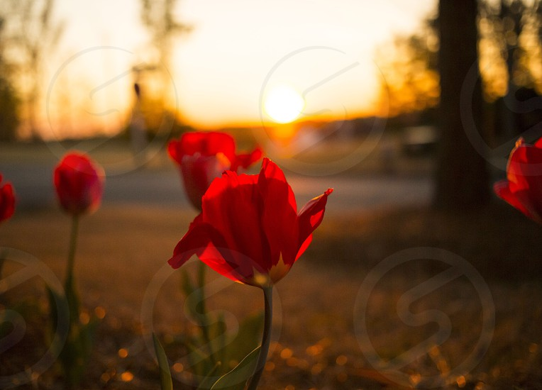 red tulips near the road photo