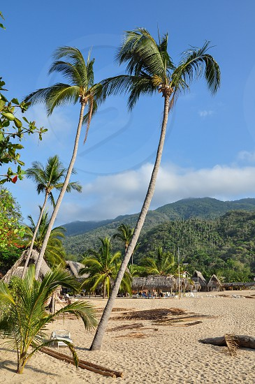 coconut palm tree travel photography photo