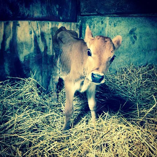 Sweet baby bottle calf photo