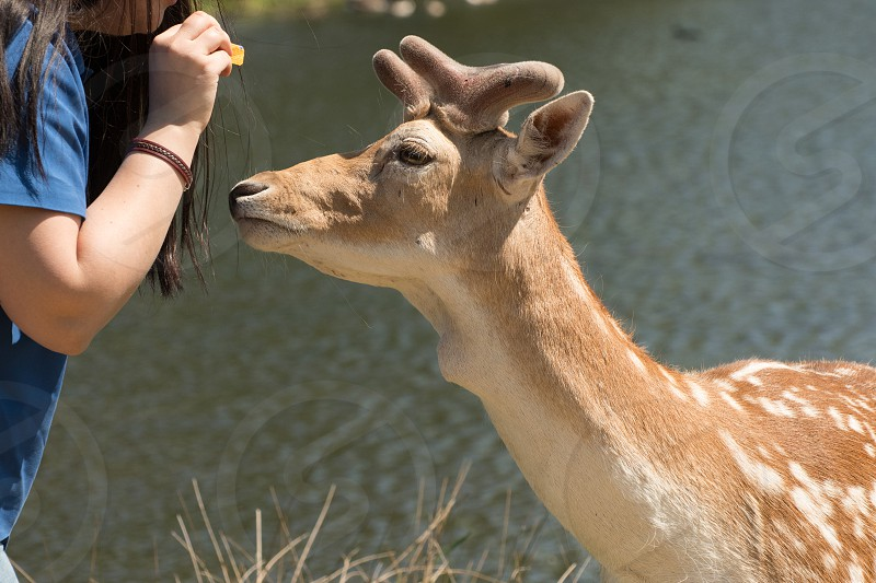 Person feeding a roe deer photo