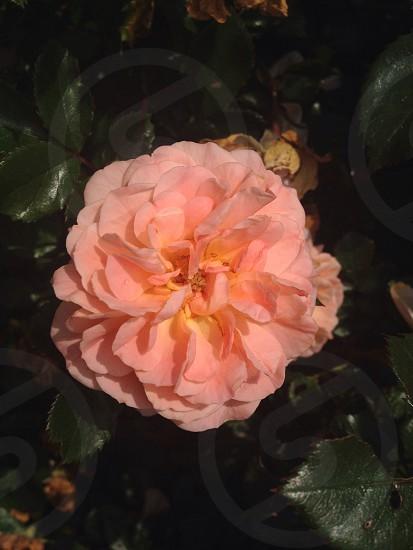 Knockout rose photo