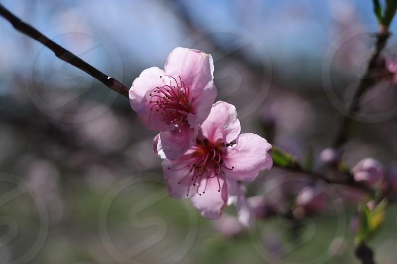 Peach blossoms spring flowers sky photo