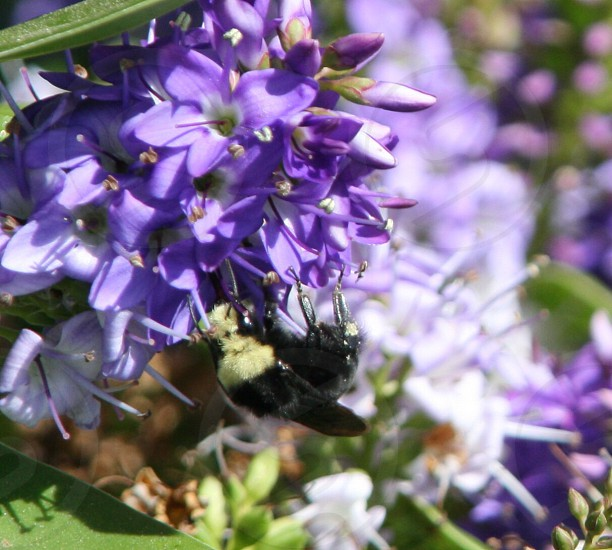 black and yellow bee on purple flower photo