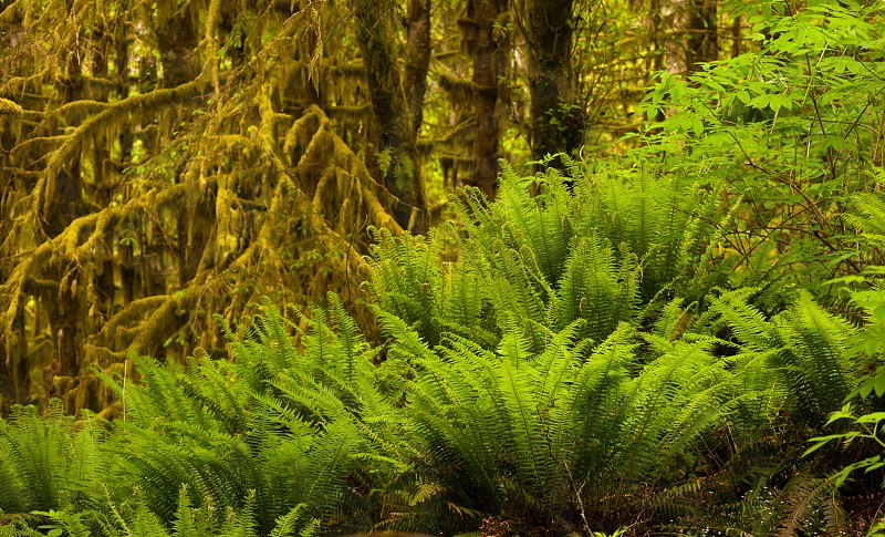 Moss covered trees and green ferns in Oregon rain forest. photo