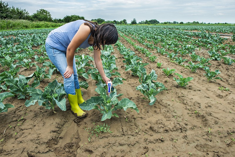 Woman use digital soil meter in the soil. Cabbage plants. Sunny day. Plant care in agriculture concept. photo