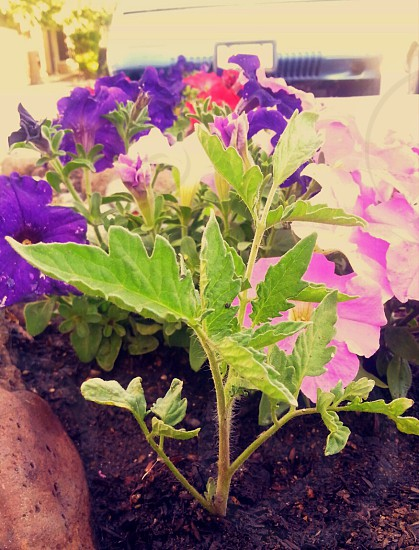 purple and pink petunia flowers in closeup photo photo