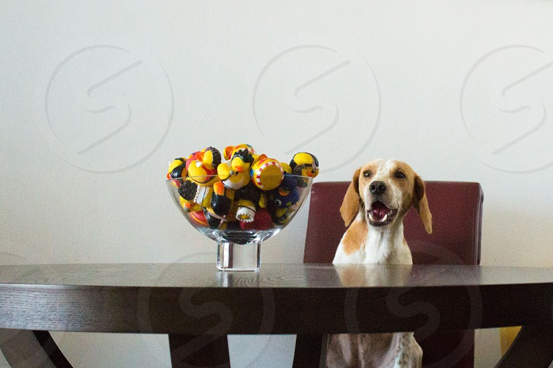 dog sitting at table looking at toys in bowl photo