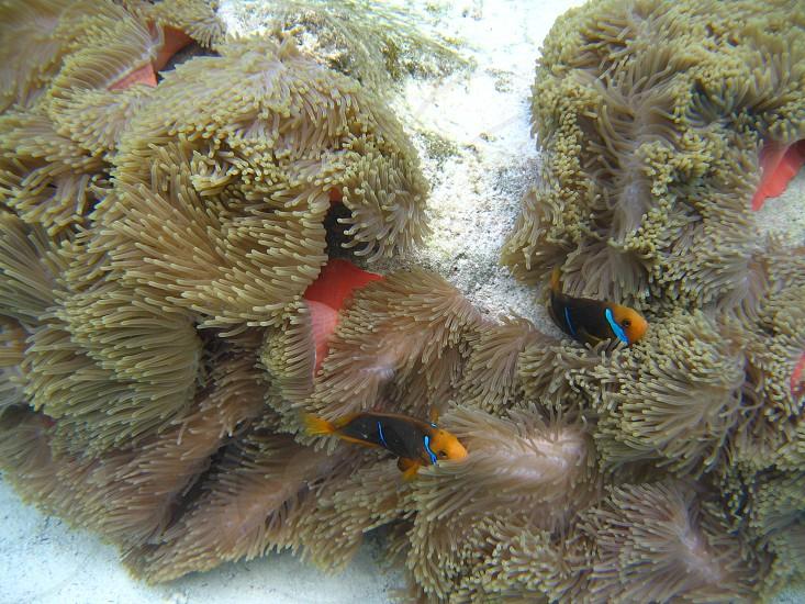 clown fish underwater Tahiti photo