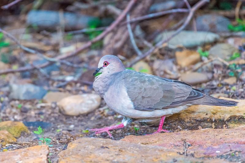 White-Tipped Dove (Leptotila verreauxi). Santa Ana National Wildlife Refuge. South Texas. USA photo