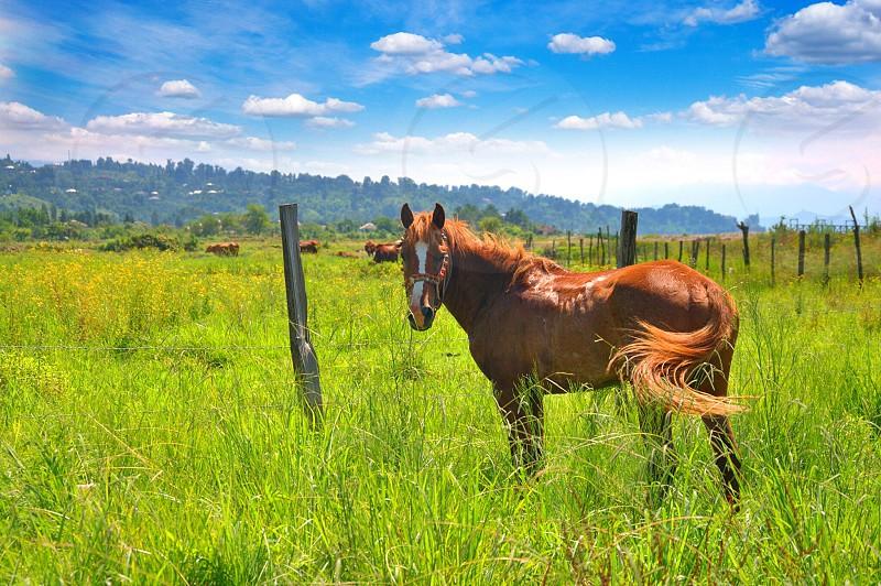 brown horse swishing his tail around in pasture photo