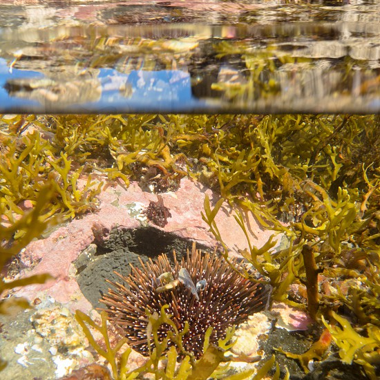 Half underwater half over over-under split shot of seaweed growth and sea urchin in clear sea water of tidal pool with reflections on surface photo