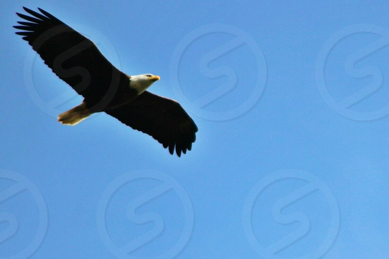 worm's eye view of American bald eagle during daytime photo