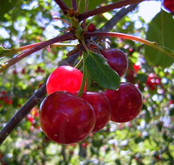 Cherries in an orchard photo