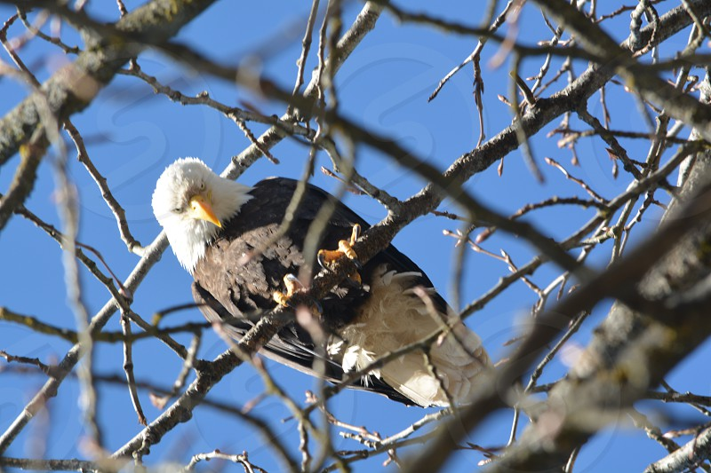 Bald Eagle High In a Tree photo