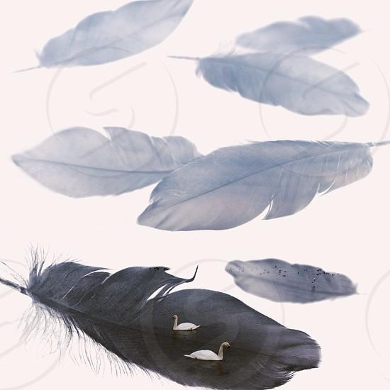 gray feathers photo