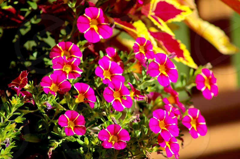 Bright pink flowers photo
