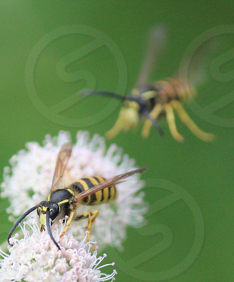 yellow jacket wasp on white flower photo