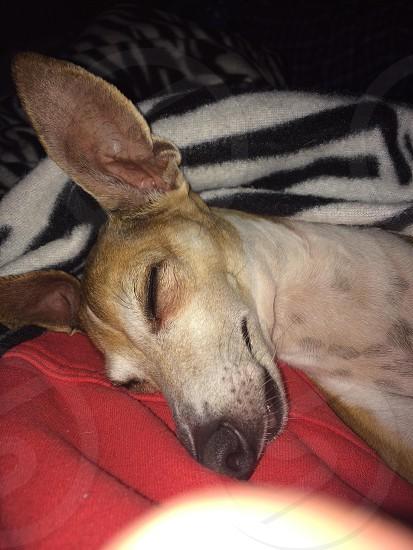 My 8 year old italian greyhound  photo