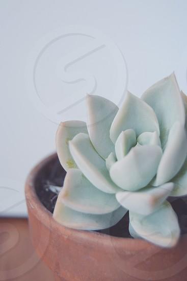 Succulent / desert rose in terracotta planter on white background photo