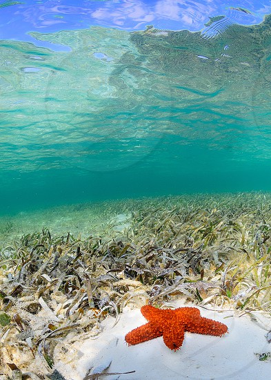 A starfish in a sea grass bed.  Bahamas underwater starfish photo