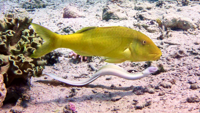 Moray and yellow fish in Red sea Eilat Israel.                     photo