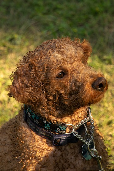 Vertical portrait of cute curly-haired brown dog. photo