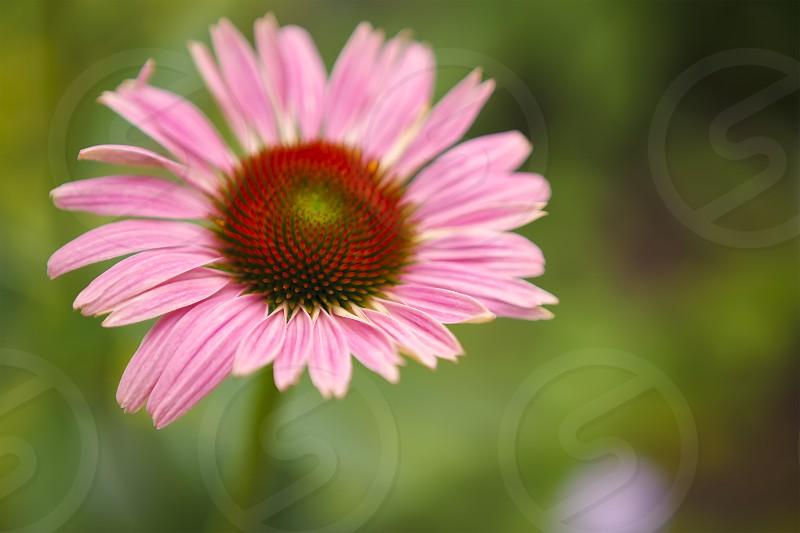 Cone flower nature photo