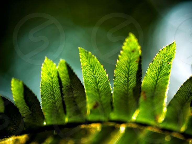 Sawtooth fern photo