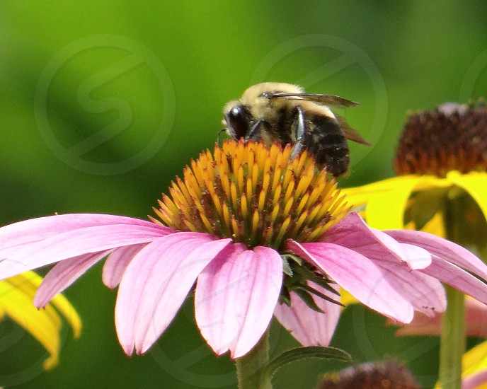 yellow and black honeybee on flower photo