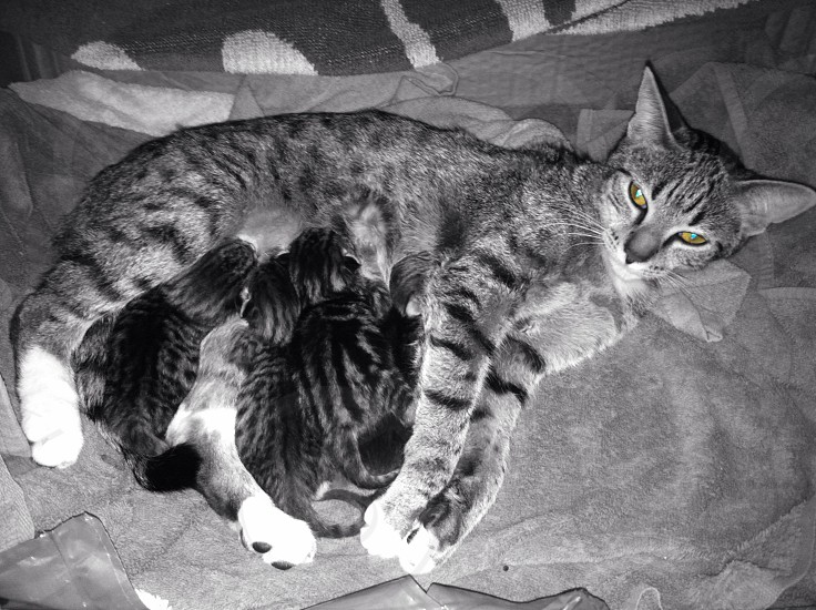 Kittens Mother Cat Cat eyes photo