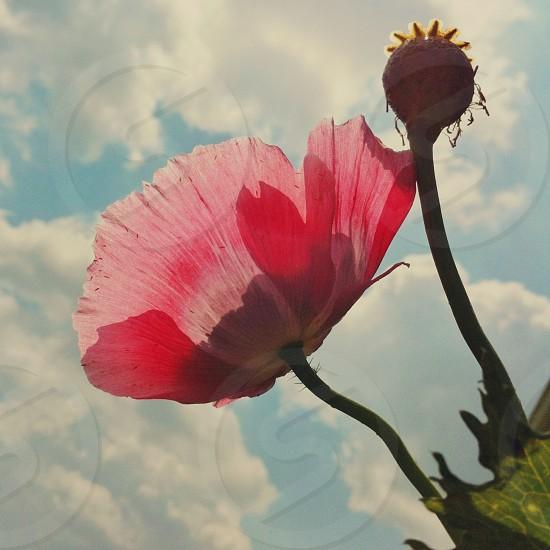 pink petaled flower photo