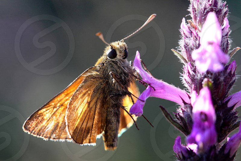 butterfly posing skipper insect animal macro close up flower nature wings antenna photo