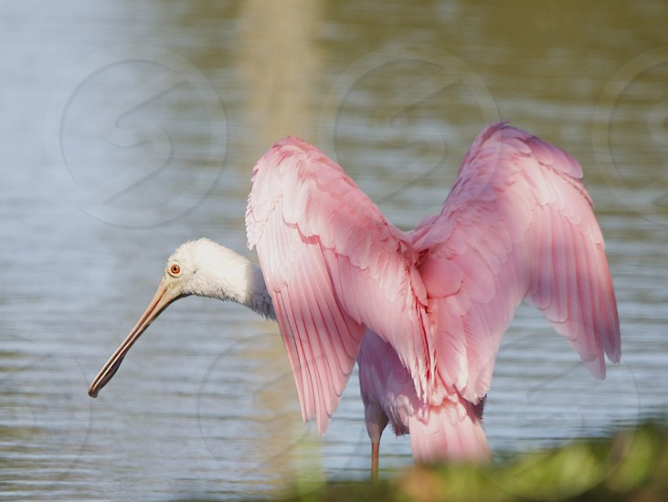 Beautiful Roseate Spoonbill with wings spread like Angel wings. photo