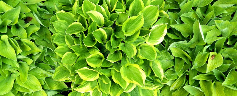 Hosta Panorama photo