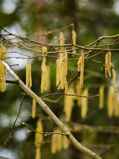 Hazel tree photo